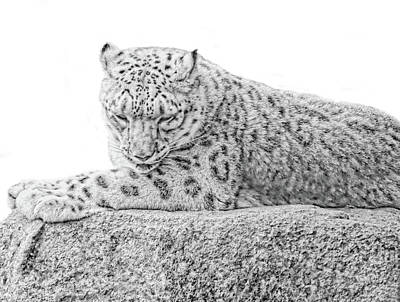 Photograph - Snow Leopard Black And White by Jennie Marie Schell