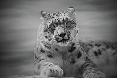 Photograph - Snow Leopard  Bw by Sandy Keeton