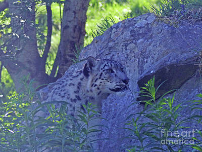 Photograph - Snow Leopard Camouflage by Phil Banks