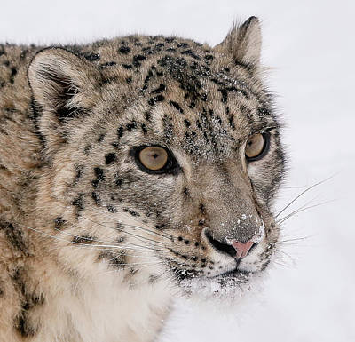 Photograph - Snow Leopard Close Up by Athena Mckinzie