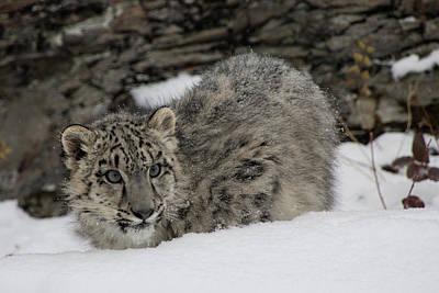 Photograph - Snow Leopard Cub 4 by Teresa Wilson
