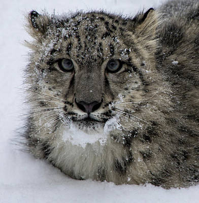 Animals Royalty-Free and Rights-Managed Images - Snow Leopard Cub by Teresa Wilson