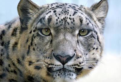Photograph - Snow Leopard by Dan Holm