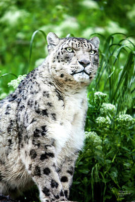 Artist Photograph - Snow Leopard by David Millenheft