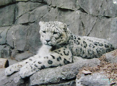 Photograph - Snow Leopard by Donna Brown