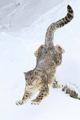 Photograph - Snow Leopard Downhill by Steve McKinzie
