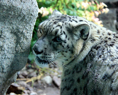 Photograph - Snow Leopard by George Jones