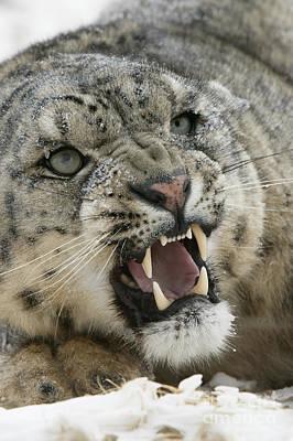 Snow Leopard Growling Art Print by Jean-Louis Klein & Marie-Luce Hubert