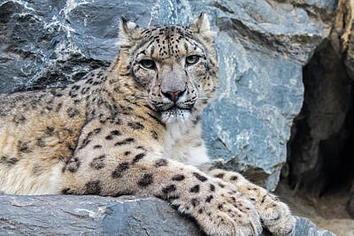 Photograph - Snow Leopard In Rock Face by Arterra Picture Library
