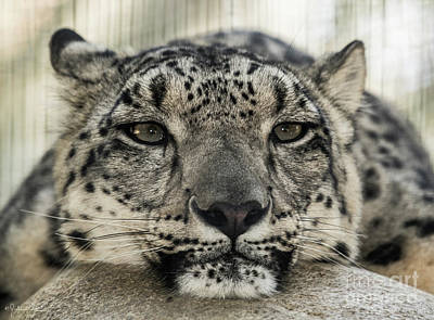 Photograph - Snow Leopard by Julian Starks
