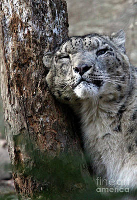 Photograph - Snow Leopard by Karol Livote