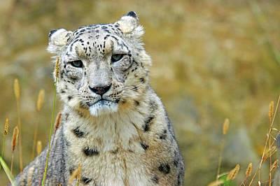 Snow Leopard Photograph - Snow Leopard by Marcel Langthim