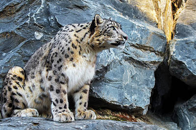 Photograph - Snow Leopard On Rock Ledge by Arterra Picture Library