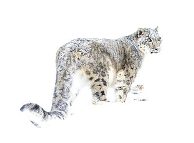 Photograph - Snow Leopard On White by Steve McKinzie