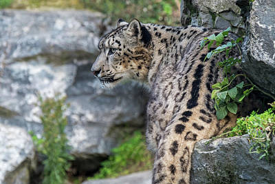 Photograph - Snow Leopard Panthera Uncia by Arterra Picture Library