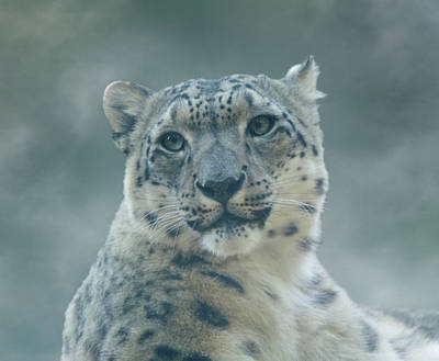 Photograph - Snow Leopard Portrait by Sandy Keeton