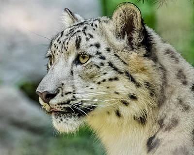 Snow Leopard Portrait Art Print by Yeates Photography