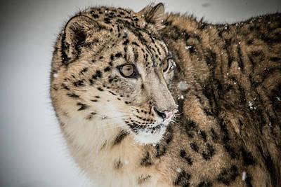 Photograph - Snow Leopard by Teresa Wilson
