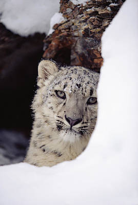 Photograph - Snow Leopard Uncia Uncia Adult, Looking by Tim Fitzharris