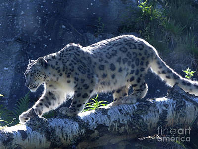 Photograph - Snow Leopard Walk by Phil Banks
