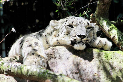 Photograph - Snow Leopard Who Is Safe Unlike His Wild Relatives by Miroslava Jurcik