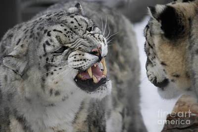 Photograph - Snow Leopard by Wilko Van de Kamp