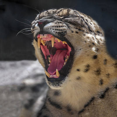 Photograph - Snow Leopard Yawn by William Bitman