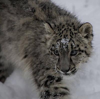Photograph - Snow Leopard Cub 3 by Teresa Wilson