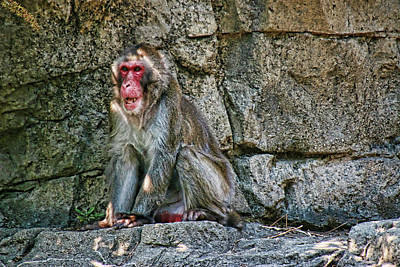Photograph - Snow Monkey by Allen Beatty