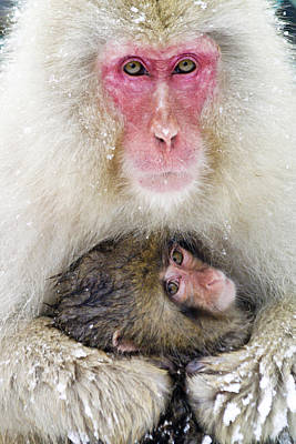 Photograph - Snow Monkey Love by Michele Burgess