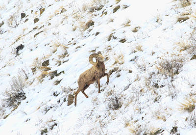 Photograph - Snow Mountain Bighorn by Steve McKinzie