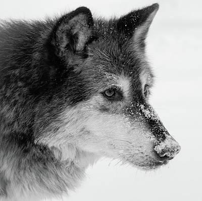 Photograph - Snow Nose Wolf by Athena Mckinzie
