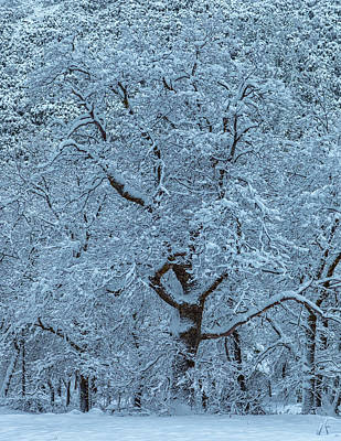 Photograph - Snow Oak by Jonathan Nguyen