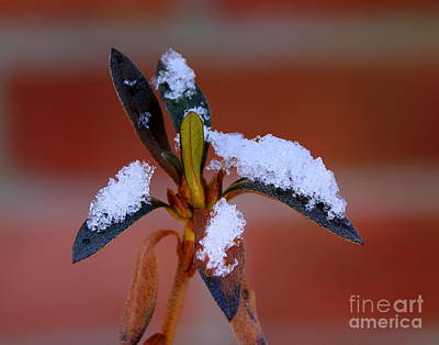 Photograph - Snow On A Stalk by Lennie Malvone