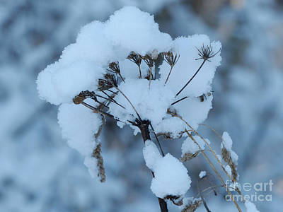 Photograph - Snow On Angelica by Phil Banks