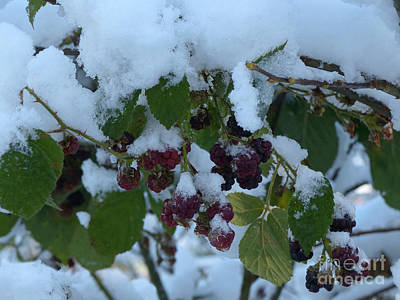 Photograph - Snow On Blackberries by Phil Banks