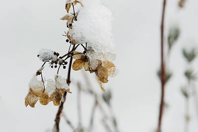 Photograph - Snow On Bush Hydrangea by Robert Potts