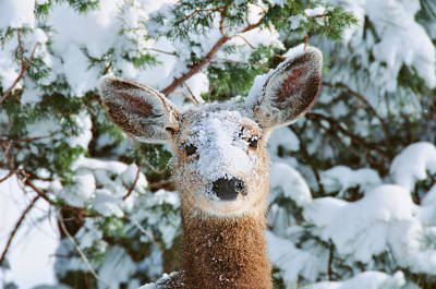 Cute Fawn Photograph - Snow On Doe by Rich Beer