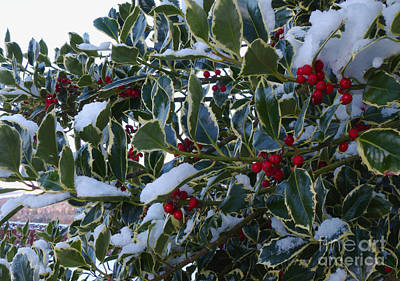 Photograph - Snow On Holly Tree by Phil Banks
