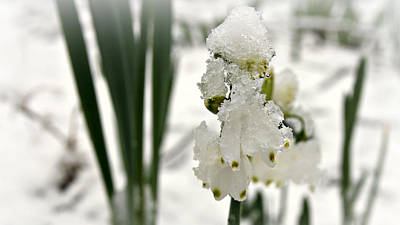 Photograph - Snow On Snowdrops by Katie Wing Vigil