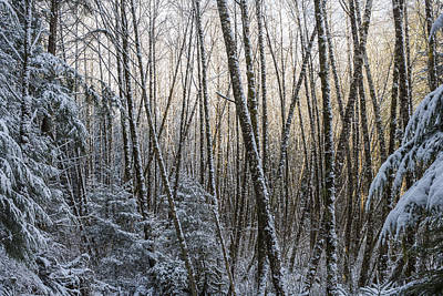 Snow On The Alders Art Print