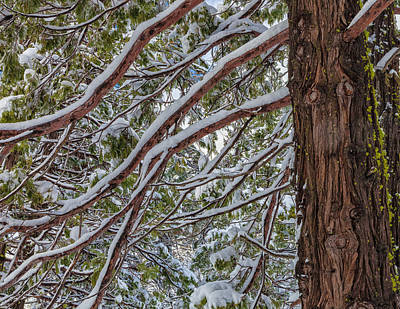 Photograph - Snow On The Branches by Jonathan Nguyen