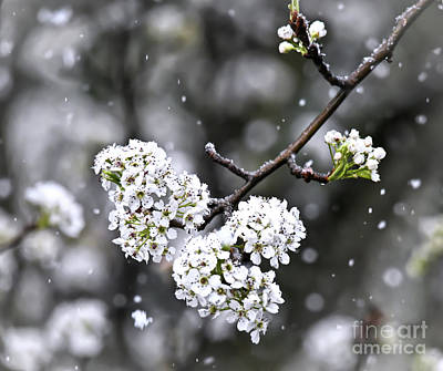 Photograph - Snow On The Pear Blossoms by Kerri Farley