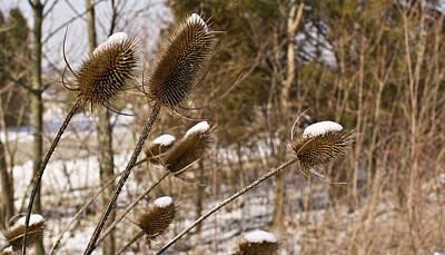Snow On The Seed Cones Art Print by Douglas Barnett