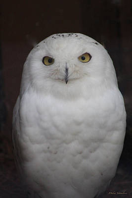 Photograph - Snow Owl by Debra     Vatalaro