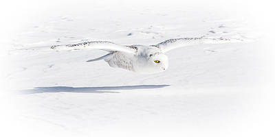 Photograph - Snow Owl Glide by Rikk Flohr