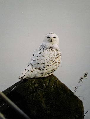 Photograph - Snow Owl by Jack G  Brauer