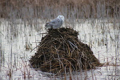 Photograph - Snow Owl On The Beaver Den by Erick Schmidt