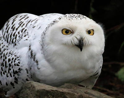 Photograph - Snow Owl Rock Lean by Steve McKinzie