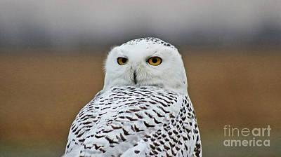 Snow Owl Strare Art Print